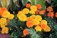 Bright Orange Carnations Greeted Us With A Cheerful Smile