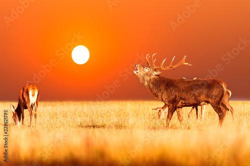 Red deer group with belling deer stag during amazing sunrise with orange sky. Autumn landscape with herd of deer. Cervus Elaphus. Natural habitat.