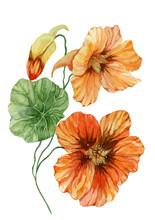 Beautiful Orange Nasturtium Fl...