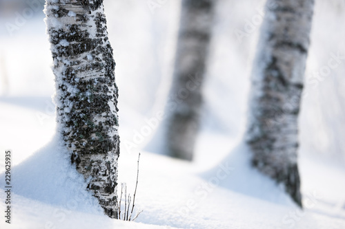 Photo  Birch tree trunks in snow