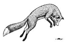 Soaring Red Fox. Wild Forest A...