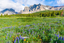 Wildflower Meadow In Glacier National Park, Montana