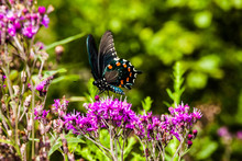 Red-Spotted Purple Butterfly On Ironweed