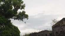 Helicopter In Guiana With A Mango Tree In