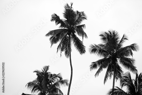 Foto op Plexiglas Palm boom black and white palm trees on white isolate background