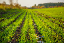 Young Wheat Seedlings Grow In A Field Growing In The Soil.