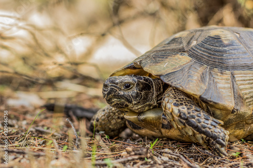 Foto op Aluminium Schildpad wild animal turtle portrait in forest outdoor nature scenery south hot country environment
