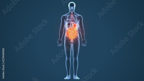 Fotomural  3d illustration of human body digestive system anatomy