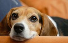 Headshot Of Beagle Dog Laying ...