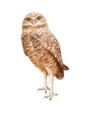 Burrowing Owl Facing Forward E...