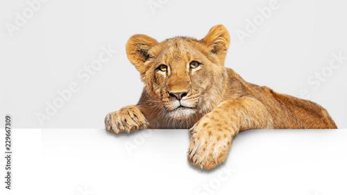 Fotografie, Obraz Lion Cub Hanging Over White Web Banner