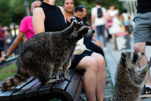 A Raccoon On The Mount-Royal M...