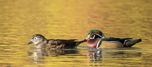 Panorama Of Wood Duck Pair In ...