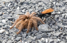 Tarantula Hawk Dragging Its Prey