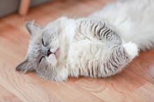 Cute Persian Lying On Floor