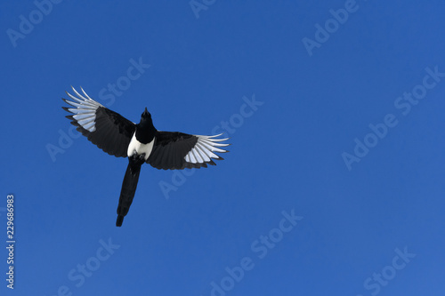 Black-billed Magpie in flight in the Rocky Mountains, Colorado Wallpaper Mural