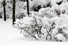 Bushes Covered With Snow In Moscow Park In Winter Season
