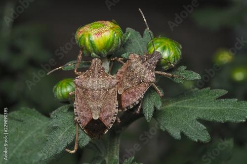 Brown marmorated stink bug (Halyomorpha halys) on green leaves (Ita: cimice asia Fotobehang