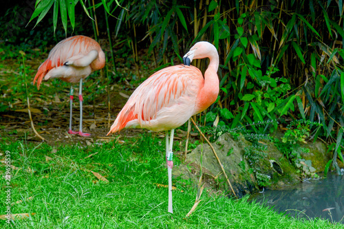 Red flamingo in zoo