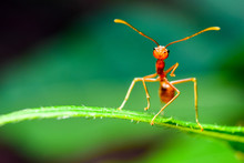 The Ant Stands On The Leaf Gra...