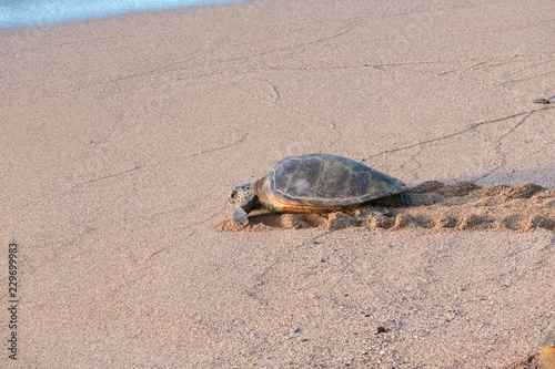 Foto op Aluminium Schildpad Green Sea Turtle going at sea, on a beach in Maui, Hawaii, USA