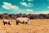 Fototapeta Sawanna - baby of white rhinoceros Botswana, Africa