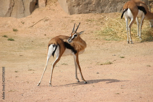 impala in africa
