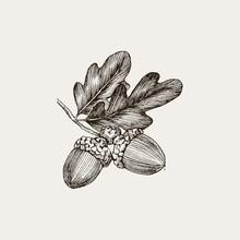 Engraving Oak Acorn Isolated On White Background. Detailed Vector Illustration Of Hand Drawn Autumn Oak Nut. Vintage Retro Fall Seasonal Decor.