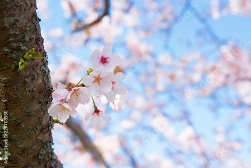 桜 さくら sakura japan 日本