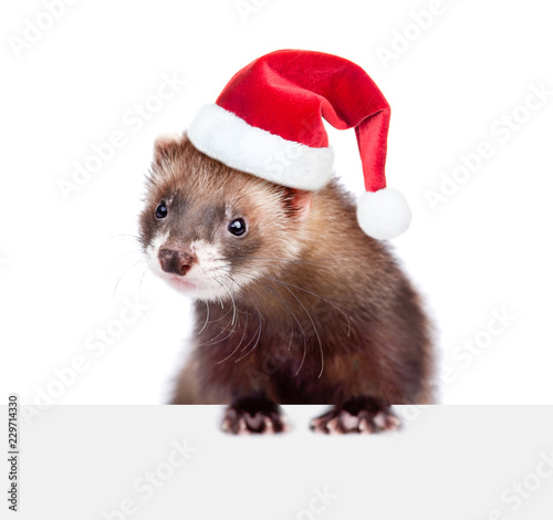 Christmas Ferret.Ferret In Red Christmas Hat Over White Banner Isolated On