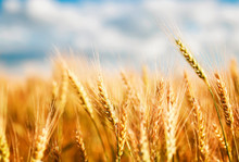 Natural With Ripe Ears And Grains Of Wheat Matured On A Yielding Agricultural Field On A Sunny Day Against A Blue Sky