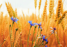 Nature Background With Blue Cornflowers Wild Flowers Growing On A Field With Ripe Golden Ears Of Corn, And The Grains Of Wheat On A Sunny Day