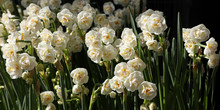Double Daffodil Narcissus X Hy...