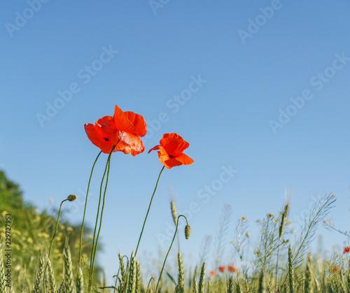 Fotobehang Poppy Poppy flowers field. Rural landscape with red wildflowers