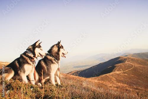 Photo  Two Siberian Husky travels the Ukrainian Carpathians