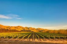 Vineyard In Canterbury, New Ze...