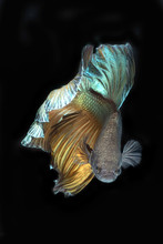 Portrait Of Betta Fish