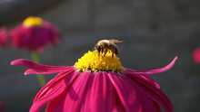 Bee Pollinating Large Yellow And Red Wild Flower