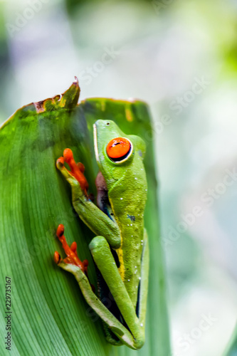 Tuinposter Kikker Agalychnis callidryas, known as the red-eyed tree frog captured in Costa Rican jungle.