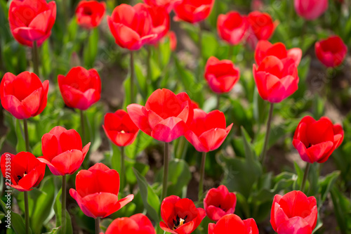 Staande foto Rood Beautiful red tulips in nature
