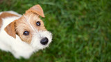 Fototapeta Zwierzęta - Dog face - cute happy jack russell pet puppy looking in the grass, web banner with copy space
