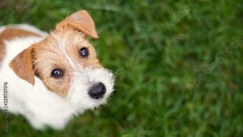 fototapeta na szkło Dog face - cute happy jack russell pet puppy looking in the grass, web banner with copy space