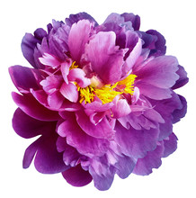 Purple-pink Peony Flower With Yellow Stamens On An Isolated White Background With Clipping Path. Closeup No Shadows. For Design.  Nature.