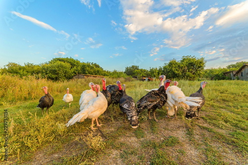 Stay home turkeys outdoors with eating juicy green forages.