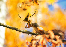 Beautiful Funny Squirrel Sits High On A Tree In An Autumn Park On A Background Of Bright Yellow Foliage And Eats Branches