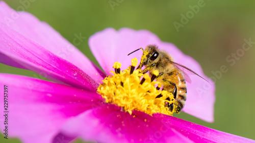 honey bee on cosmos flower