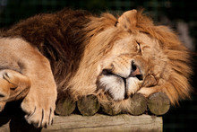 Sleeping Lion With Crossed Paws