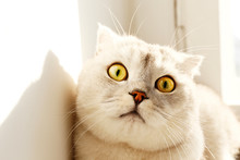 Cute Scottish Fold Breed Cat With Yellow Eyes Lying By The Window, Catching Sun At Home, Sunny Day View. Soft Fluffy Purebred Short Hair Lop-eared Kitty On Windowsill. Background, Copy Space, Close Up