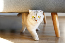Cute Scottish Fold Breed Cat W...