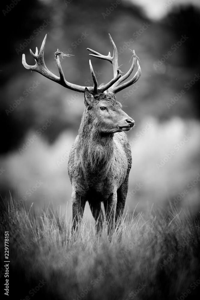 Fototapeta cerf gibier chasse animal cervidé cor bois herbe haute noir et blanc nb portrait brame